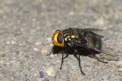 Blowfly. Australian blowfly bluebottle sitting on concrete Stock Photos