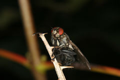 Blowfly (Calliphoridae) Royalty Free Stock Photo