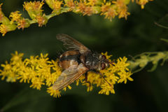 Blowfly (Calliphoridae) Imagem de Stock Royalty Free