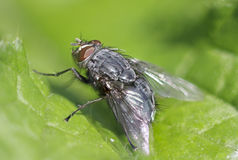 Blowfly- Calliphoridae Royalty Free Stock Images
