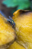 BlowFly eating rotting mango Stock Image