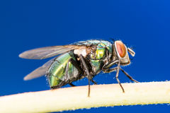 Blowfly Royalty Free Stock Images