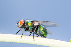 Blowfly Stock Photo