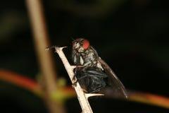 blowflycalliphoridae royaltyfri foto