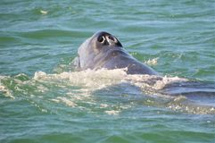 Blowhole of Baby Gary Whale, Guerrero Negro, Baja California. Baby Gray Whale taking a deep breath at Scammon`s Lagoon in Baja California del Sur stock photos