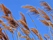 Blowin' in the Wind. Reeds blow in the wind against bright blue sky royalty free stock photo