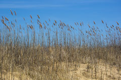 Blowing Beach Grass against Blue Sky Stock Photography