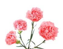 A blowing carnation Stock Photo