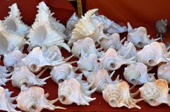 Blowing Conch or Sea Snail Shells for Sale Stock Image