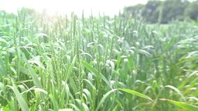 Blowing crops. A video of young green crops blowing in the wind stock video