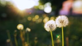 Blowing on a Dandelion. Closeup shot. An unrecognizable person behind the scenes blowing a dandelion. Closeup shot stock footage