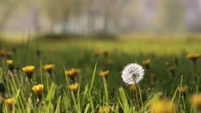 Blowing dandelion. Meadow nature scene of wind blowing dandelion with selective focus stock video