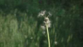 Blowing Dandelion Seeds. Flying dandelion seeds on a blurred green herbal background. Slow motion 240 fps. Full HD 1080p. Drastic blowing of seed from a stock video footage