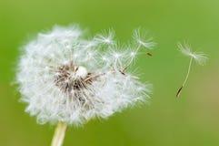 Blowing on dandelion Stock Image
