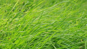 Blowing green grasses stock video