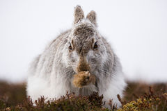 Mountain Hare Grooming (Lepus Timidus) Stock Image