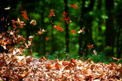 Free Blowing Leaves Stock Photography - 31398792