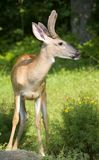 Blowing a rasberry. Whitetail buck in velvet with his tongue out royalty free stock photography