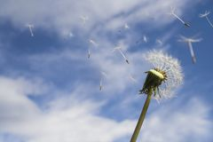 Blowing in the wind. Dandelion Loosing Seeds in the Wind royalty free stock image