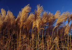 Blowing in the Wind. Reeds blowing in the wind against a blue sky Stock Photos