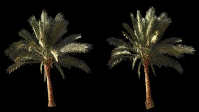 2 blowing on the wind beautiful green full size real tropical palm trees stock video