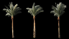 3 blowing on the wind beautiful green full size real tropical palm trees. Isolated on alpha channel with black and white luminance matte, perfect for film stock video footage
