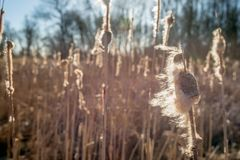 Blowing in the wind. Overblown female flower spike of a common bulrush or Typha latifolia plant in a marshy area of a Dutch nature reserve blowing in the wind on royalty free stock photos