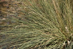 Blowing in the Wind. Sedge green foliage blows lightly in the wind Stock Photography