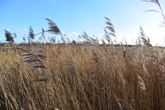 Blowing in the wind. Tall grasses blowing in the wind on a winter's day Stock Images