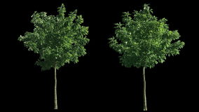 2 blowing on the wind trees isolated with alpha stock video footage