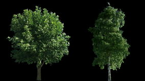 2 blowing on the wind trees isolated with alpha stock video