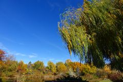 Blowing in the Wind - Weeping Willow. The limbs of a Weeping Willow tree blow in the win on a sunny Autumn Day in Boise, Idaho royalty free stock photography