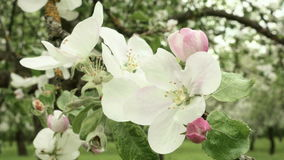 Blown apple flower swaying in the wind. Close up shot. Clean and bright daytime stock video footage