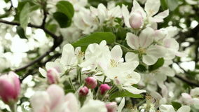 Blown apple flower swaying in the wind. Close up shot. Clean and bright daytime stock video
