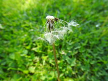 blown away dandelion Stock Photo