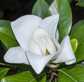 Blown beautiful magnolia flower on a tree with Stock Photos