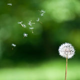 Blown dandelion Royalty Free Stock Images