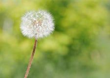 Blown dandelion Stock Photos