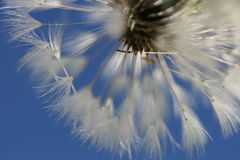 Blown Dandelion. Dandelion seends blown by the wind Stock Image