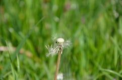 Blown Dandelion and Green Grass Stock Photo