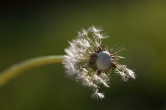 Blown dandelion head. Close up of dandelion seed head with most blown off stock images