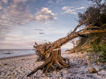 Blown down tree on the beach Royalty Free Stock Image