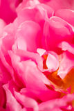 Blown pink tulip Royalty Free Stock Images