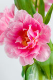 Blown pink tulip Royalty Free Stock Photography