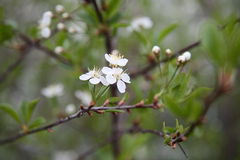 Blown Siberian cherry blossom. Flowers bloomed in May of Siberian branch of cherry growing in a holiday village Stock Photography