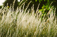 Blown white grass. In the huge field Stock Image
