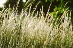 Blown white grass Stock Image