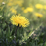Blown yellow dandelion flower close up Stock Image