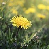 Blown yellow dandelion flower close up Stock Image