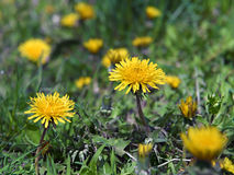 Blown yellow dandelion flower close up Stock Images
